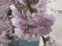 0325nakakusakura12.jpg