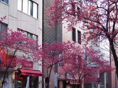 0325nakakusakura14.jpg