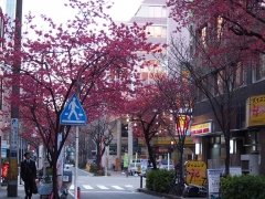 0325nakakusakura15.jpg