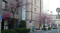 0325nakakusakura2.jpg