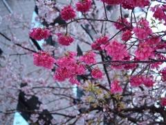 0325nakakusakura8.jpg