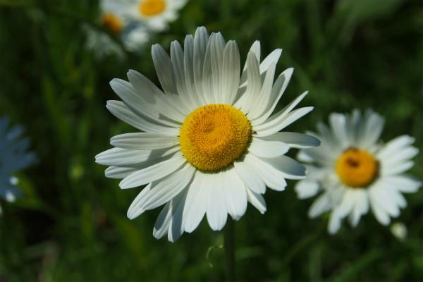 フランスギク ( 仏蘭西菊 )