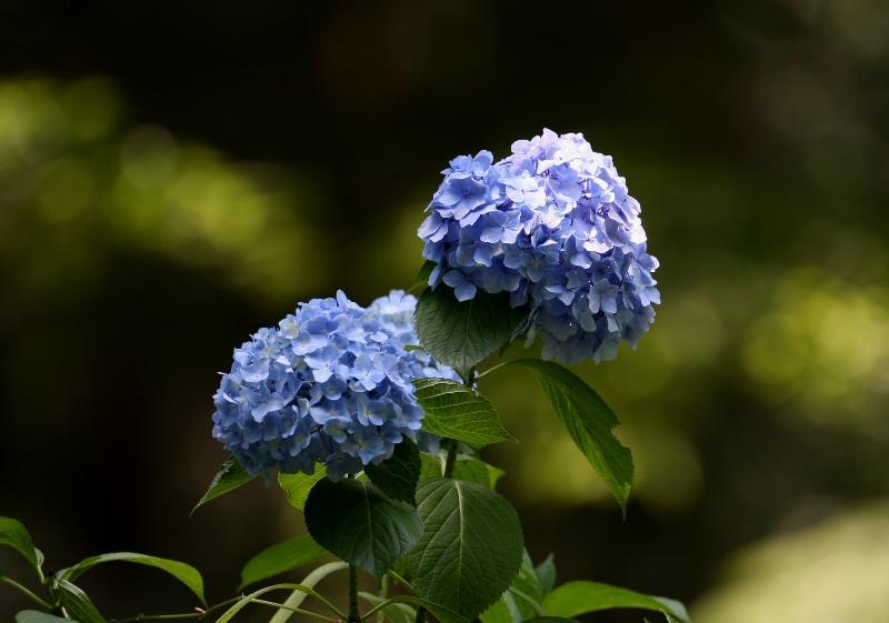 紫陽花3140619