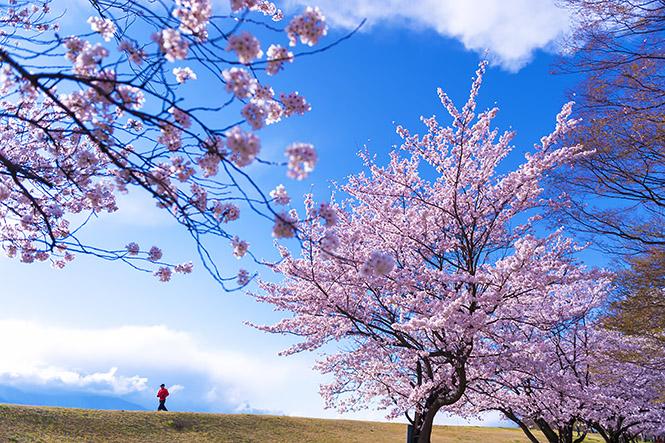 2014桜001