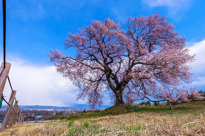 2014桜002