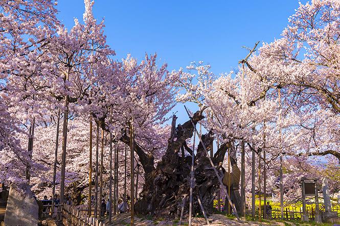 2014桜003