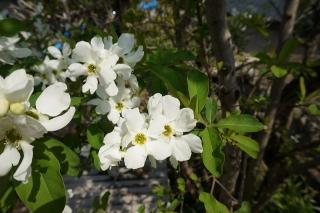 花ミズキ123