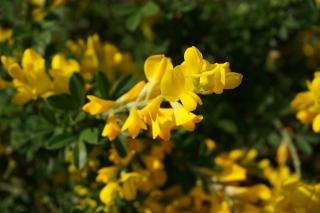 黄色花11