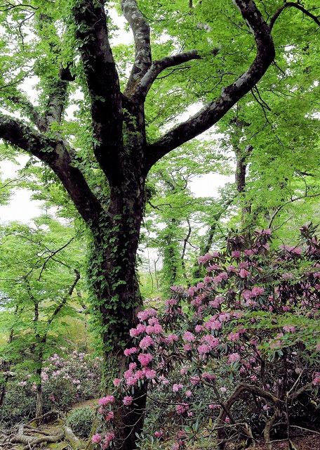 ブナと石楠花