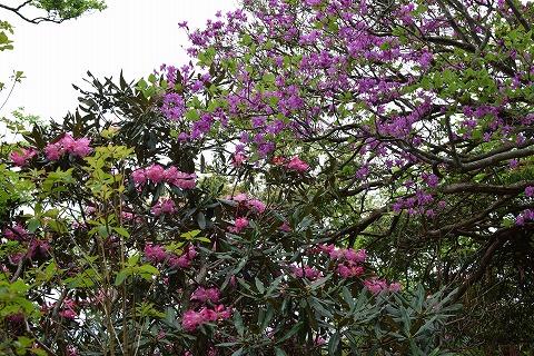 石楠花とミツバツツジ