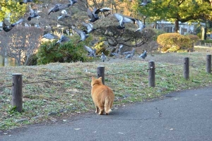 Ai-chan The Cat Stalking Pigeons