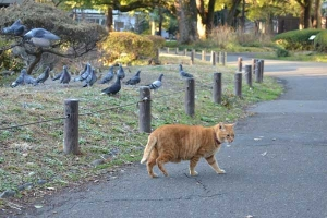 Ai-chan The Cat After Stalking Pigeons