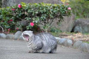 Cat Yawing