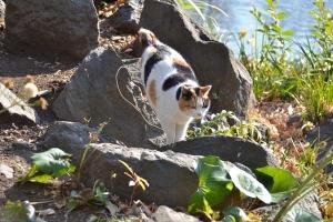Sakura Cat Sakura-chan