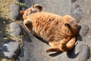 Ginger Cat Showing Tummy