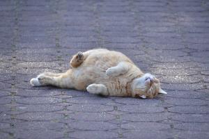 Chubby Cat Lying