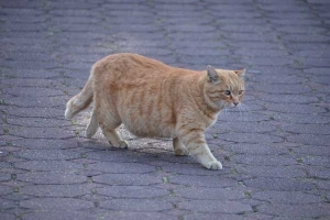 Chubby Cat Walking
