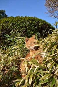 Ai-chan The Cat in Bush