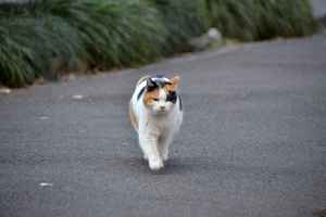 Sakura Cat Sakura-chan About To Stretch