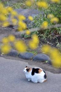 Sakura Cat Sakura-chan and Japanese Cornelian Cherry