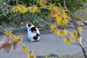 Sakura Cat Sakura-chan and Japanese Witch Hazel