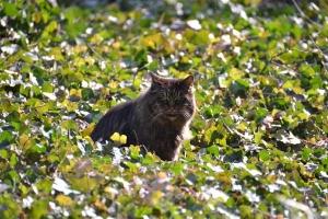 Longhaired Dark Brown Tabby