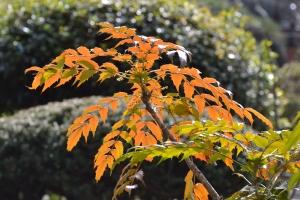Japanese Mahonia