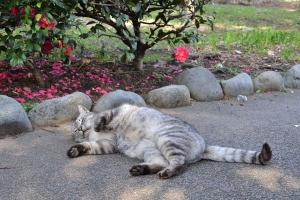 Cat and Caellia Sasanqua