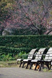 寒緋桜猫 Ginger Cat and Taiwan Cherry Blossoms