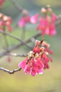 寒緋桜 Taiwan Cherry Blossoms