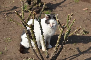 A Black And White Cat In Winter Rose Garden