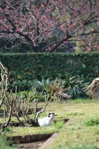 寒緋桜猫 A Black And White Cat and Taiwan Cherry Blossoms