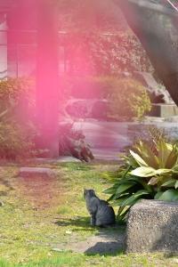 寒緋桜猫 Grey Tabby