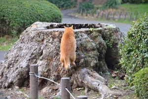 Cat (Ai-can's Brother) Getting On Tree Stump