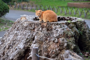 Cat (Ai-can's Brother) On Tree Stump