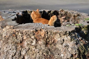 Cat in The Hollow of a Tree Stump