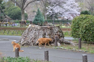 桜猫 Sakura Cat Ai-chan (walking) and His Brother