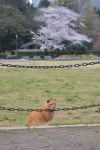 桜猫 Sakura Cat Ai-chan