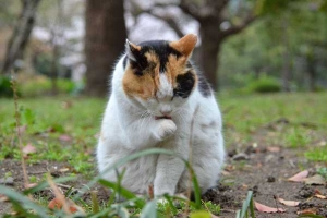 桜猫 Sakura Cat Sakura-chan
