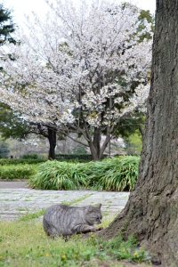 桜猫 Sakura Cat