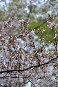 Sakura Blossoms Ending