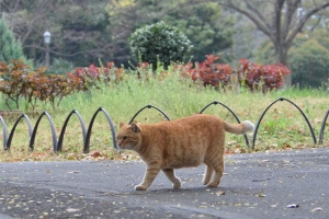 Cat Walking By Rose Garden (No Flower Yet)