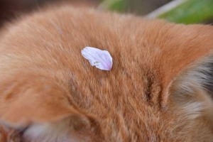 桜猫 Ai-chan The Cat and Sakura Petal on His Head
