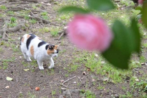 Sakura-chan The Cat and Camellia japonica Otome