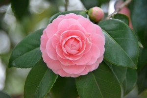 Camellia japonica Otome
