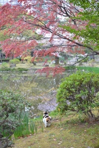Sakura-chan The Cat Under Nomura Kaede Maple