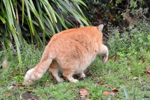 Ginger Cat From Behind