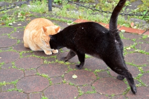 Ginger Cat and Black Cat