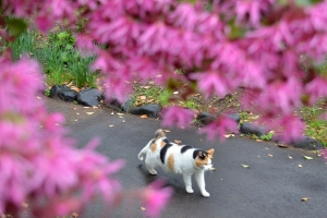 Sakura-chan The Cat and Chinese Fringe Bush