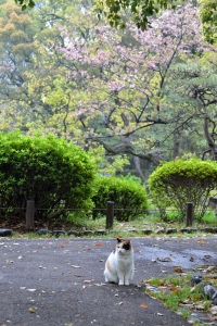 名残り桜猫 Sakura-chan The Cat